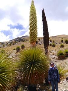 Giant Puya Raymondii in Pastoruri Peru