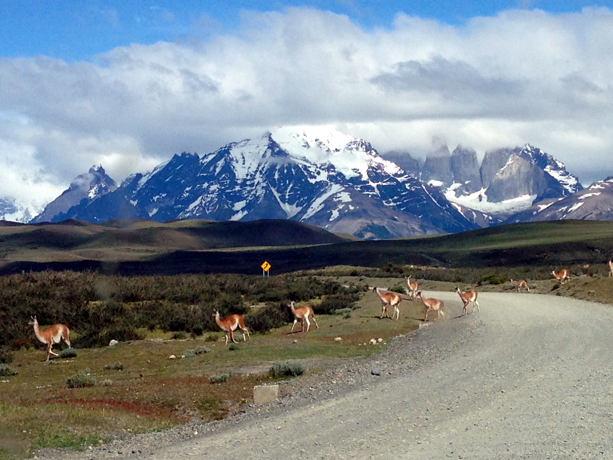 Vicuna crossing in Torres del Paine