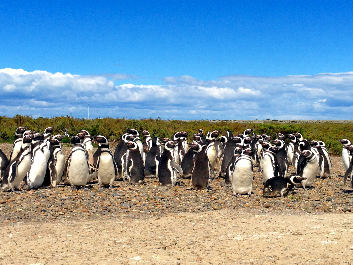 Magellanic Penguin Rookery Cape Virgenes Argentina